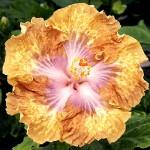 Гибискус: полезные свойства растения