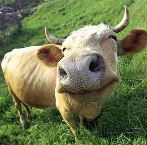Крупный домашний скот в народных приметах