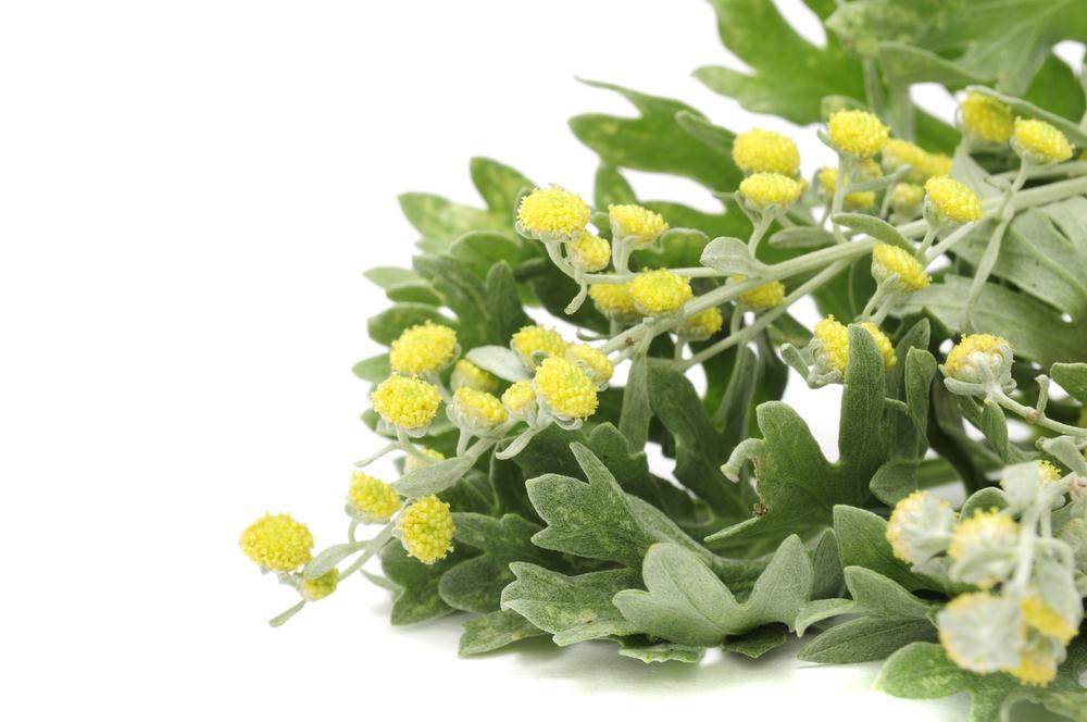 Растения - магическое использование - боярышник, полынь, шалфей, дуб